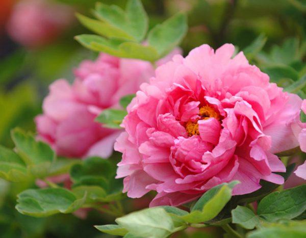 Nét đẹp của loại hoa mẫu đơn Trung Quốc