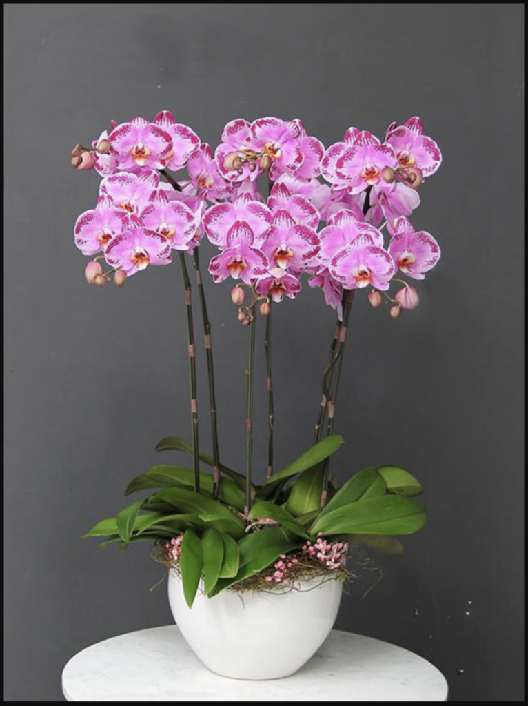 Hoa lan để chúc mừng sinh nhật