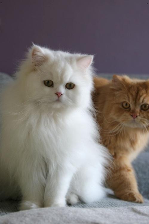 Mèo Ba Tư được nuôi tách riêng biệt