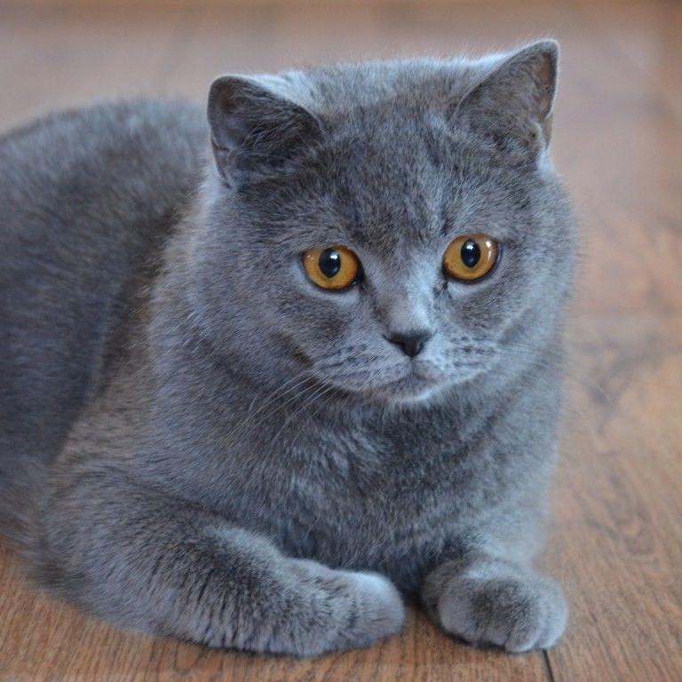Mèo anh lông ngắn có bộ lông ngắn giống với tên gọi
