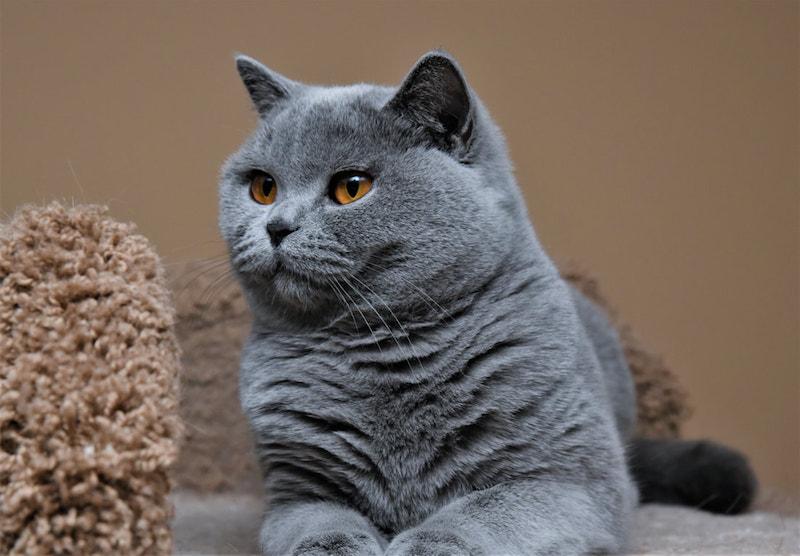 Mèo anh lông ngắn có giá cao hơn mèo anh lông dài