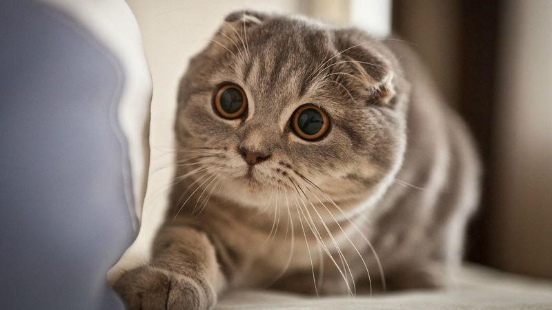 Mèo tai cụp có cấu tạo tai khá đặc biệt