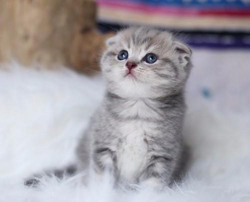 Mèo tai cụp có tính cách và vẻ bề ngoài vô cùng dễ thương