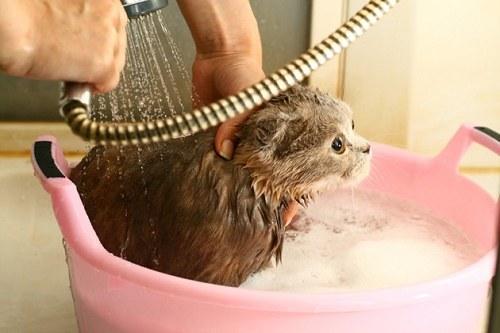 Thường xuyên tắm rửa sạch sẽ cho mèo