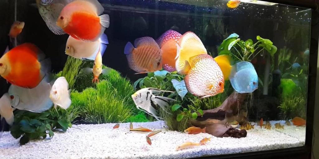 Cá dĩa cũng là loài cá cảnh đẹp được nhiều người yêu thích