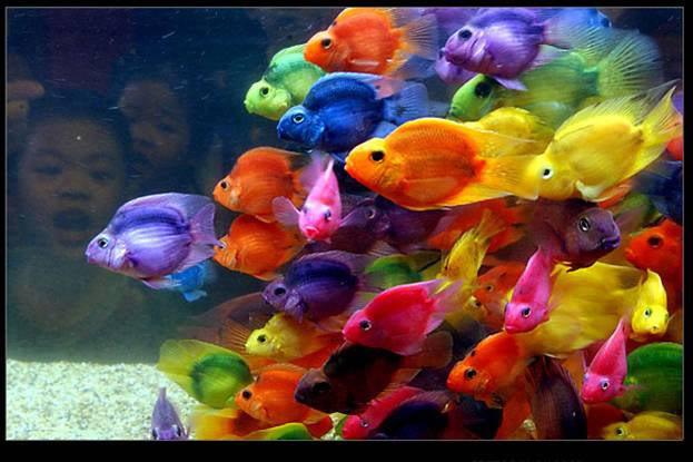 Loài cá cảnh đẹp - cá Huyết Anh Vũ
