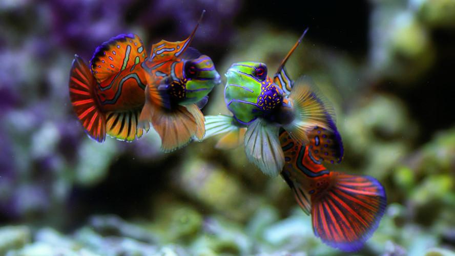 Loài cá trạng nguyên được nhiều người yêu thích