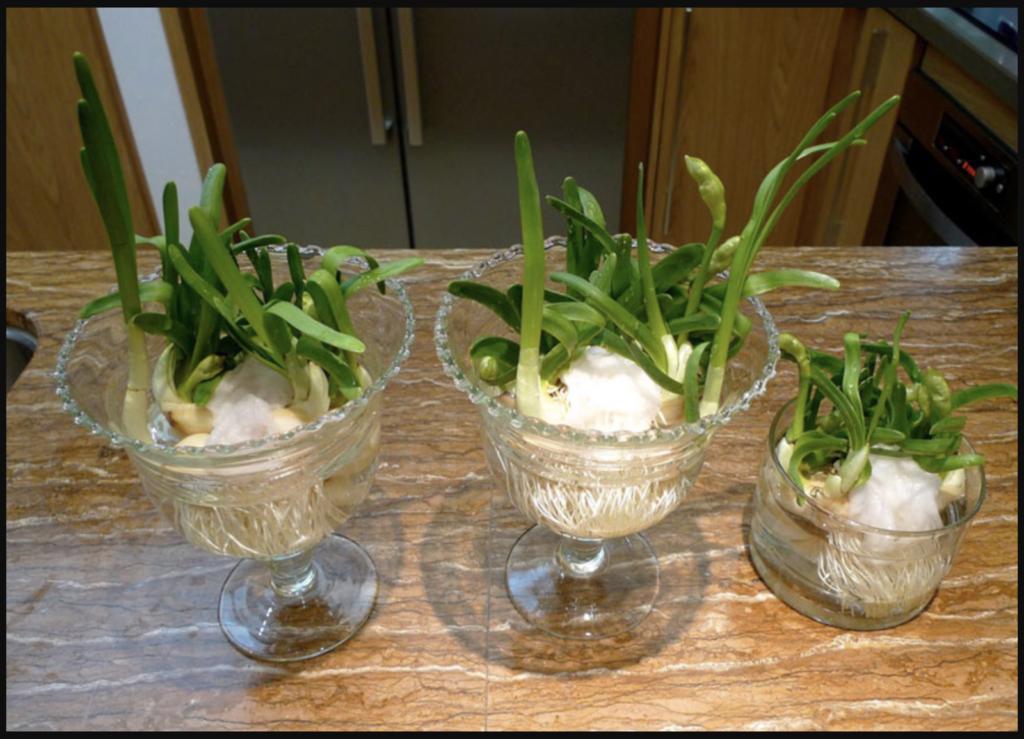 Các cách trồng hoa thuỷ tiên