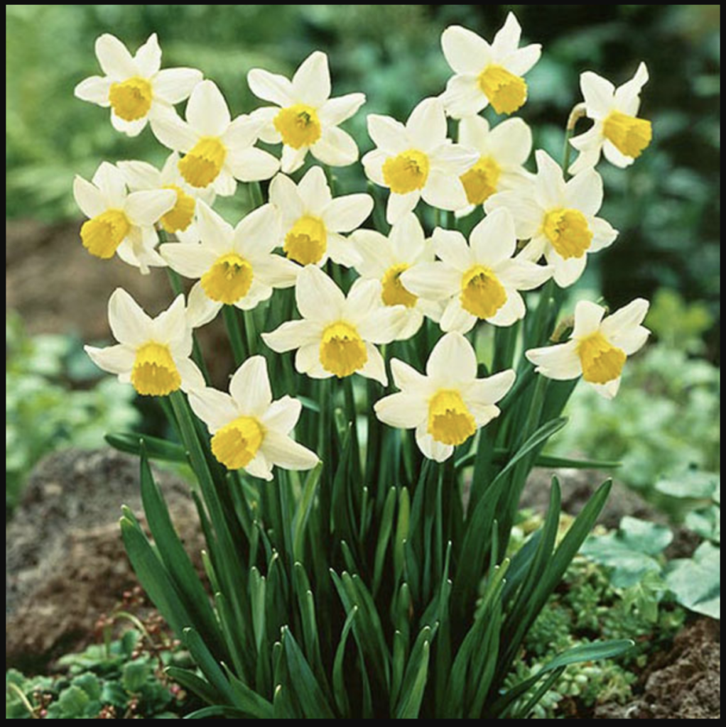 Đặc điểm hình thái của hoa thuỷ tiên