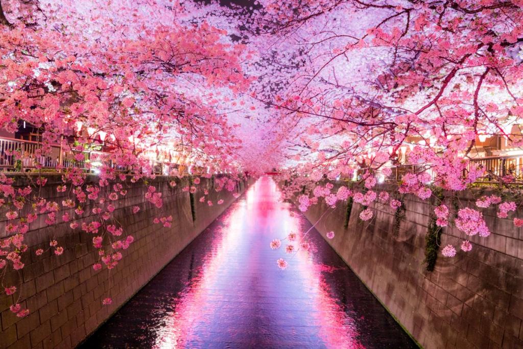 Hoa anh đào - biểu tượng của Nhật Bản