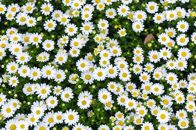 Hoa cúc rất dễ trồng và chăm sóc