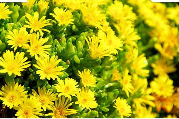 Cúc vàng tượng trưng cho lòng đam mê và nhiệt huyết