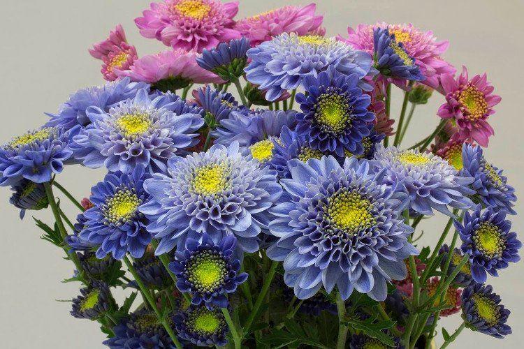 Cúc xanh mang ý nghĩa cho sự bình yên và hạnh phúc
