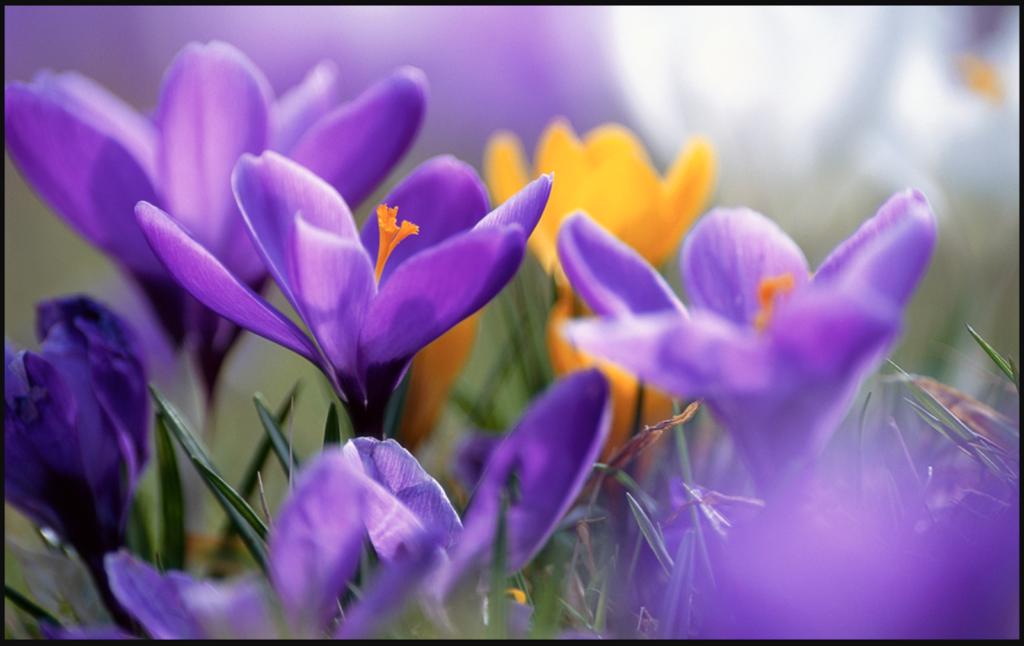 Hoa thuỷ tiên màu tím