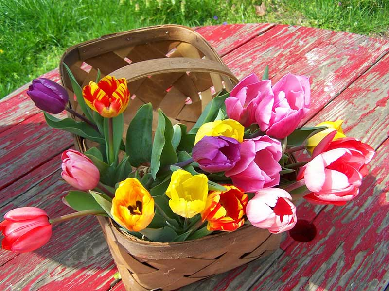 Tulip có nhiều màu sắc khác nhau