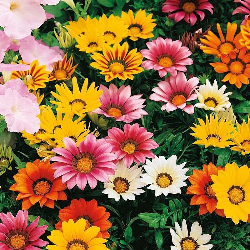 Cúc là loài hoa có nguồn gốc từ Trung Quốc