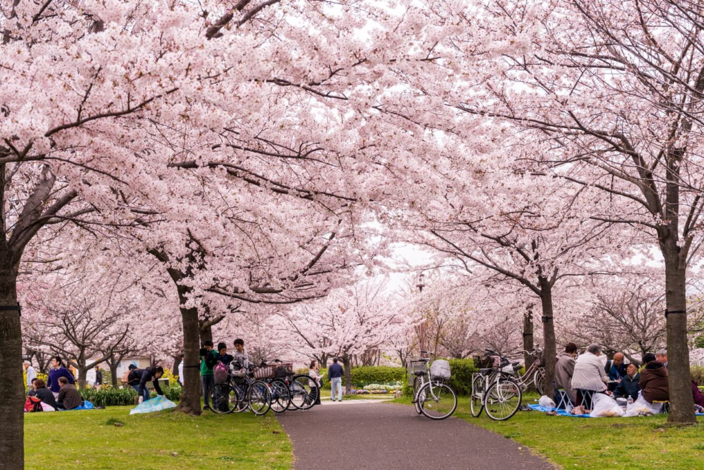 Ở Nhật có rất nhiều lễ hội ngắm hoa anh đào