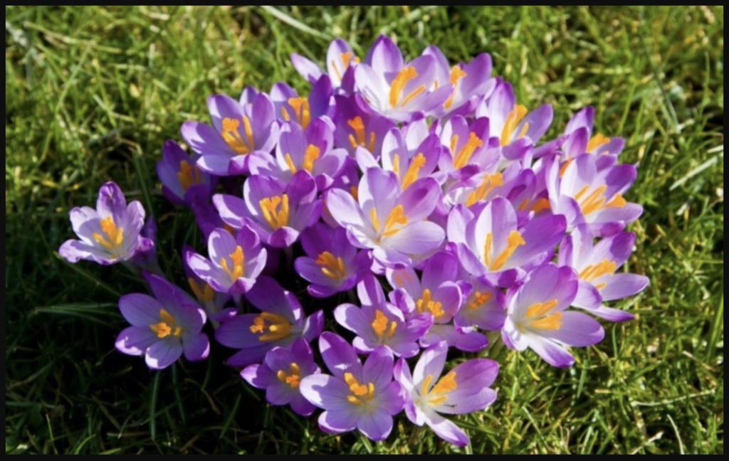 Thời gian phù hợp để trồng hoa thuỷ tiên