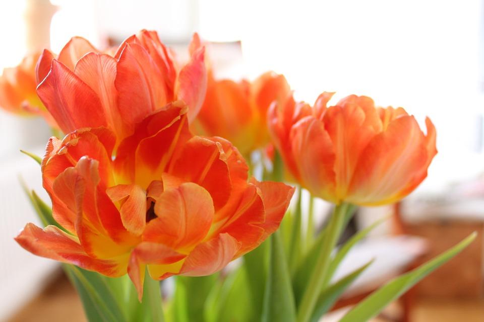 Tulip cam biểu tượng cho sự hạnh phúc và viên mãn