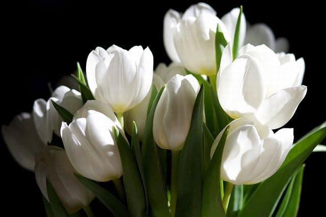 Tulip trắng thể hiện sự thành công trong cuộc sống