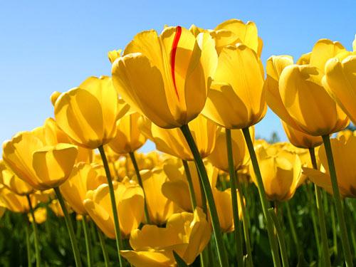 Tulip vàng mang ý nghĩa cho sức mạnh và sự nhiệt huyết