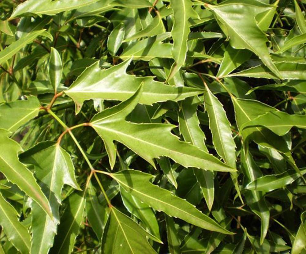 Đinh lăng có phần lá to và xanh thẫm