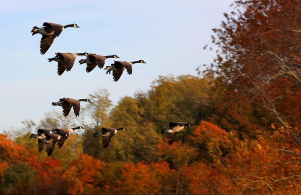 Các loài chim di trú đến nơi có thức ăn và nước dồi dào hơn