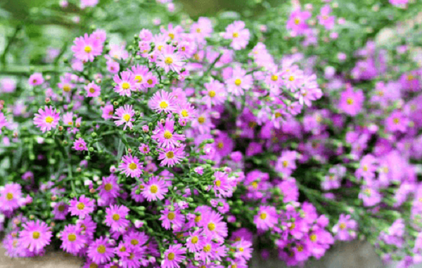 Hoa cúc thạch thảo có kích thước nhỏ