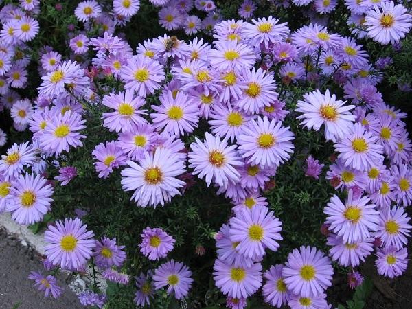 Hoa cúc thạch thảo với sắc tím mê hoặc
