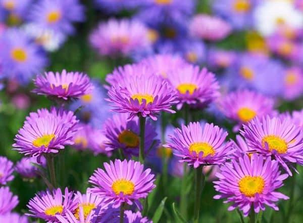 Cúc thạch thảo được trồng rất nhiều ở Đà Lạt, hoa cúc phổ biến