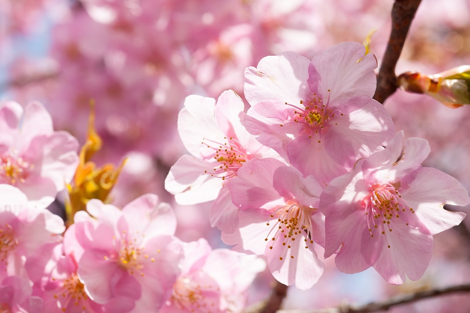 Hoa kawazuzakura phổ biến ở tỉnh Izu