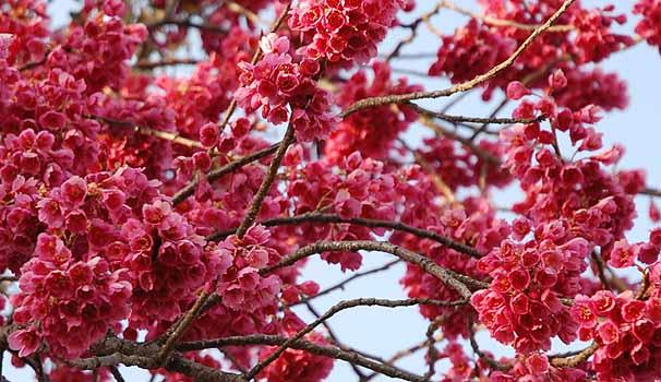 Sức hấp dẫn quyến rũ của loại hoa anh đào đặc biệt - hoa anh đào Kanhizakura