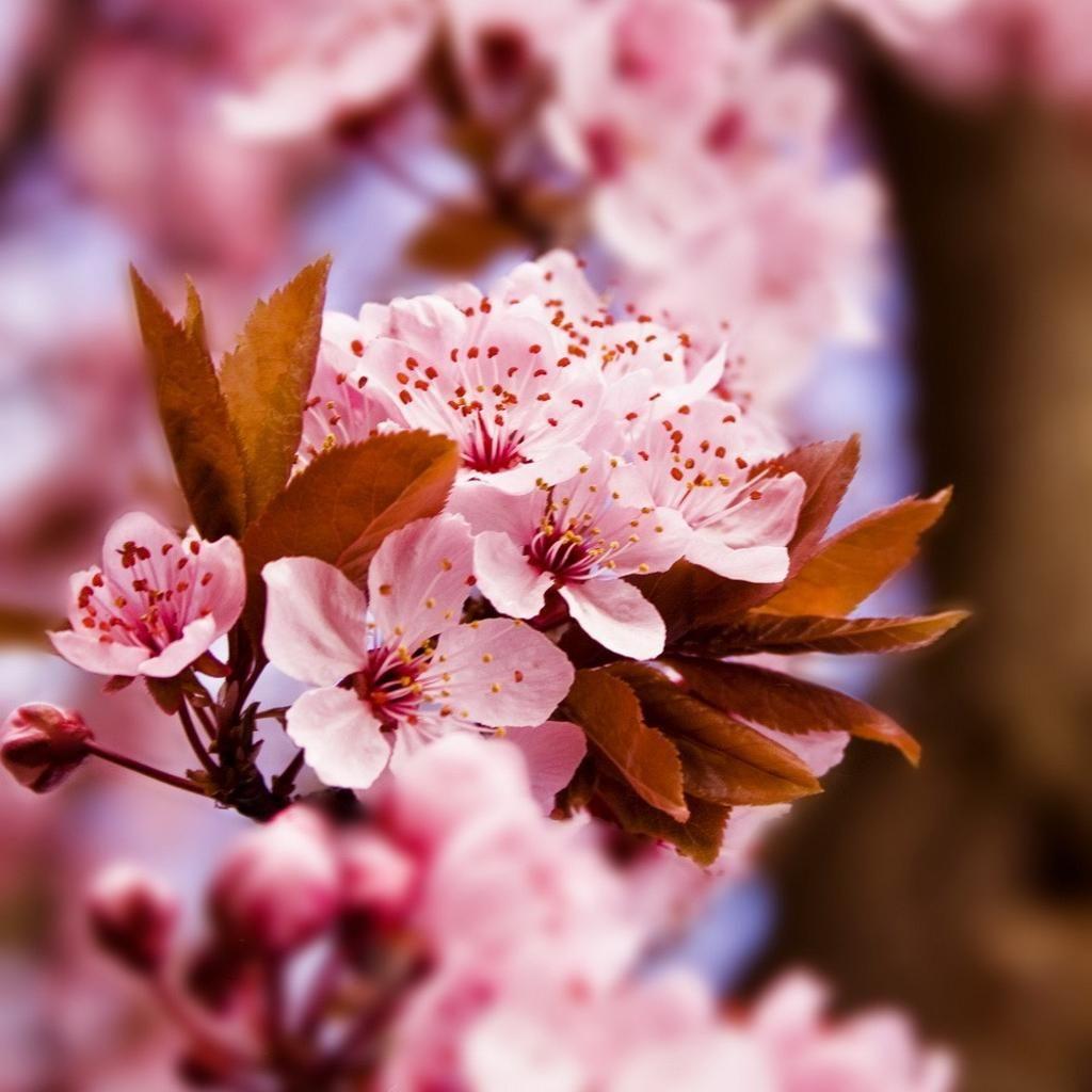 hoa đào  Yamazakura núi mang vẻ đẹp cực hoang dại