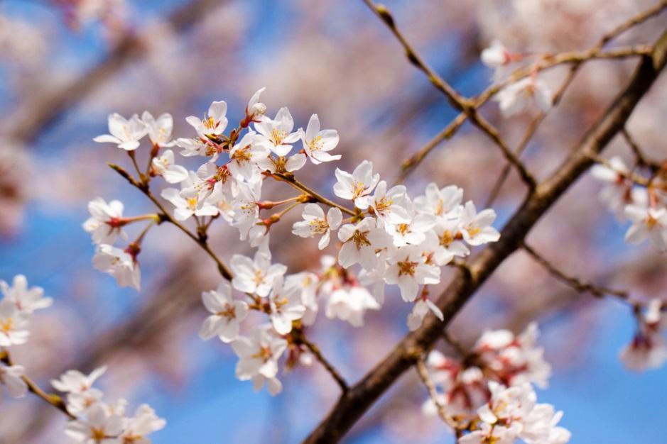 Hoa xuất hiện tại Nhật từ thời Edo