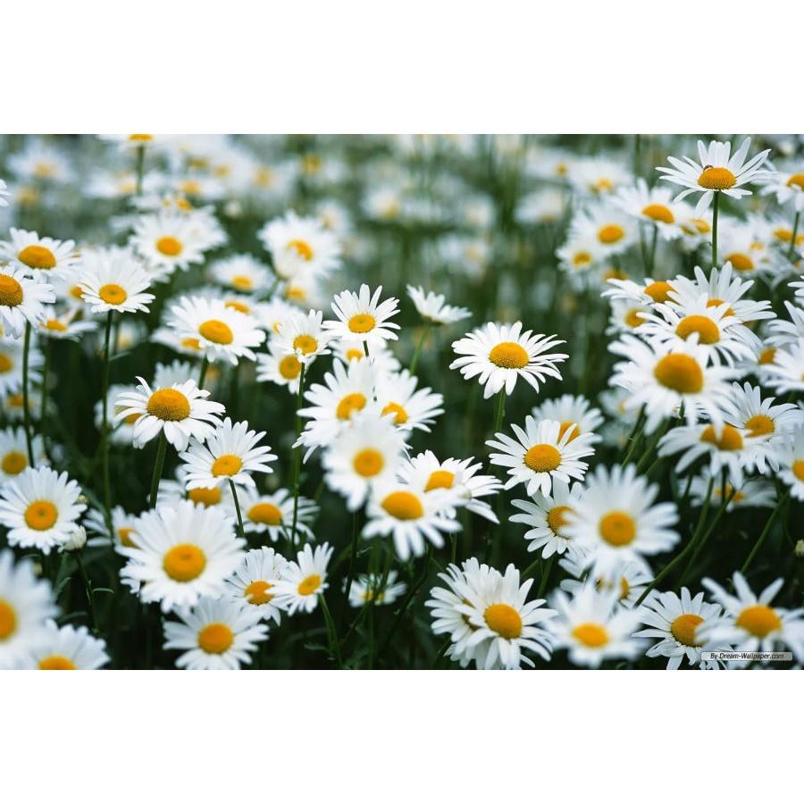 Hoa cúc chi mang sắc trắng tinh khiết