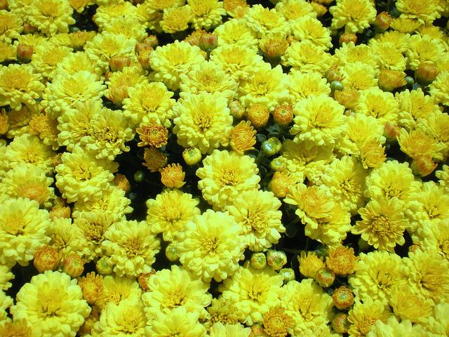 Hoa cúc mâm xôi được sử dụng rất nhiều vào ngày tết