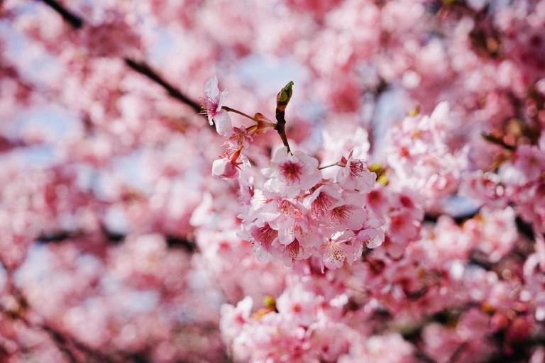 Hoa mang nhiều ý nghĩa đẹp