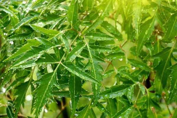 Rễ và lá cây đinh lăng chữa thiếu máu não, mất ngủ