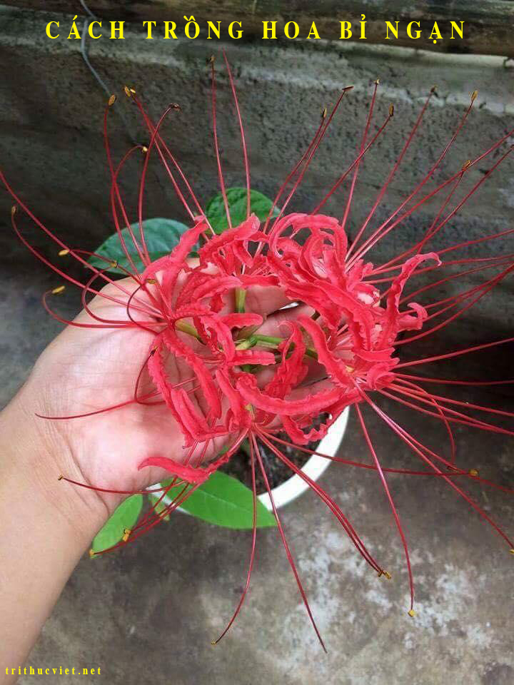 Hướng dẫn cách trồng cây bỉ ngạn